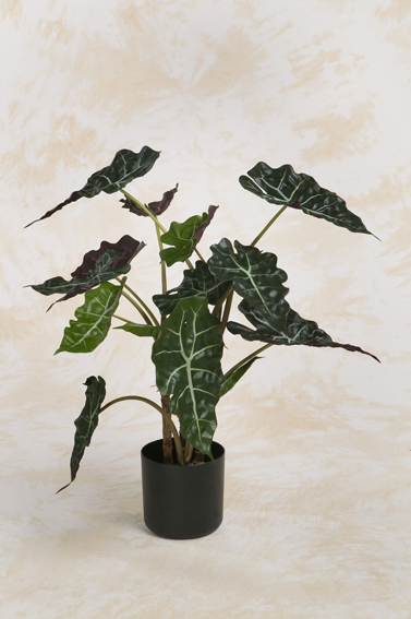 Alocasia red